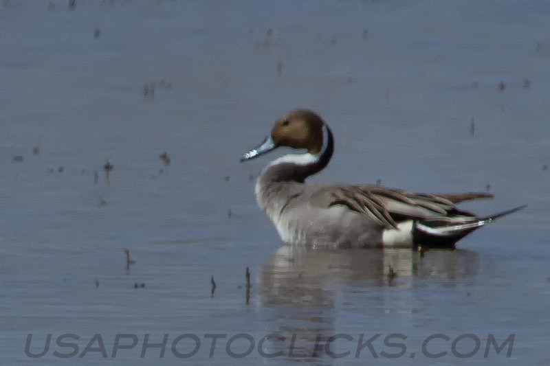 Northern Pintail (b1702)