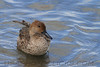 Northern Pintail (b1704)