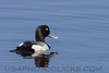 Greater Scaup (b1933)