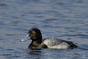 Greater Scaup (b1935)