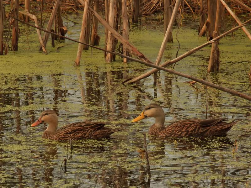 Mottled Duck (b0422)