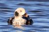 Long Tailed Duck (b0503)