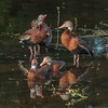 Black Bellied Whistling Duck (b0365)