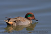 Green Winged Teal (b2371)