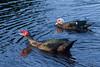 Mascovy Duck (0432)