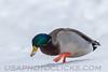 Mallard Duck b0415)