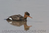 Red Brested Merganser (b1363)