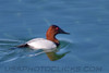 Canvasback (b0381)