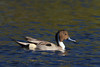 Northern Pintail (0451)