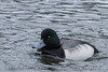 Greater Scaup (b1938)