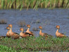 Fulvous Whistling Duck (b0391)