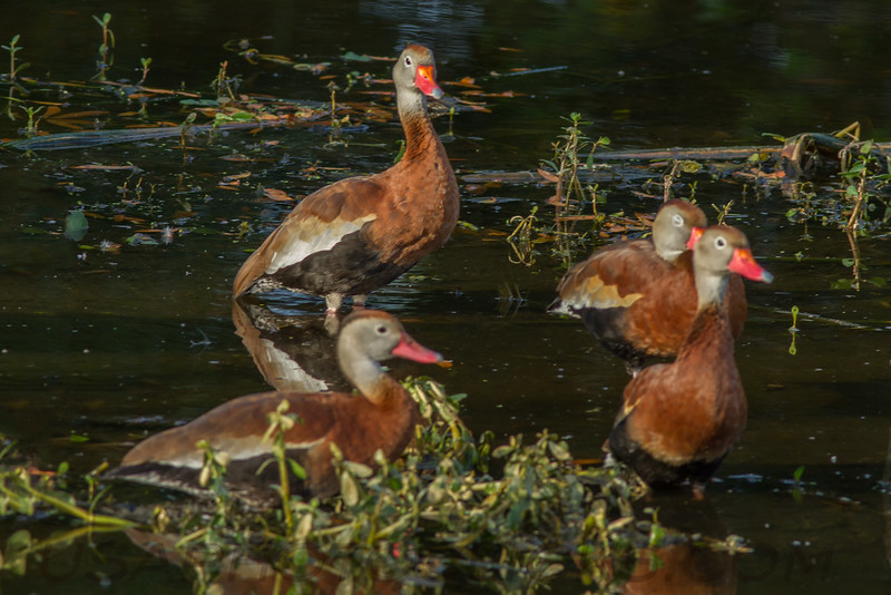 Black Bellied Whistling Duck (b0362)