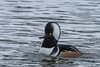 Hooded Merganser (b1357)