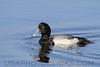 Greater Scaup (b1936)