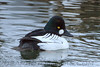 Common Goldeneye (b3174)