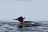 Red Brested Merganser (1368)