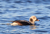 Long Tailed Duck (b0501)