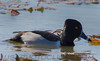 Ring-necked Duck (b0472)