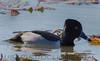 Ring-necked Duck (b0472)
