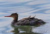 Red Brested Merganser (b1362)