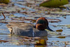 Green Winged Teal (b2372)