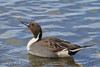 Northern Pintail (b1701)