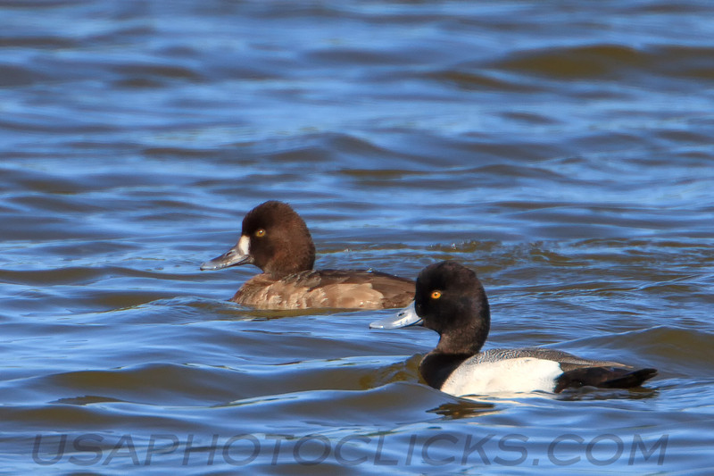 Greater Scaup (b1932)