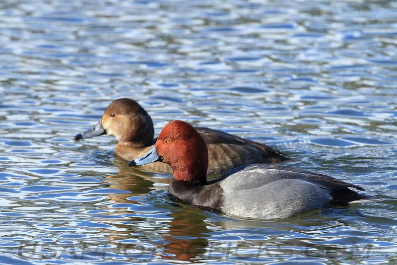 Red Head Duck (b0463)