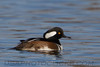Hooded Merganser (b1355)