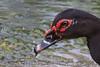 Mascovy Duck (0433)