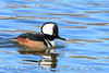 Hooded Merganser (b1356)