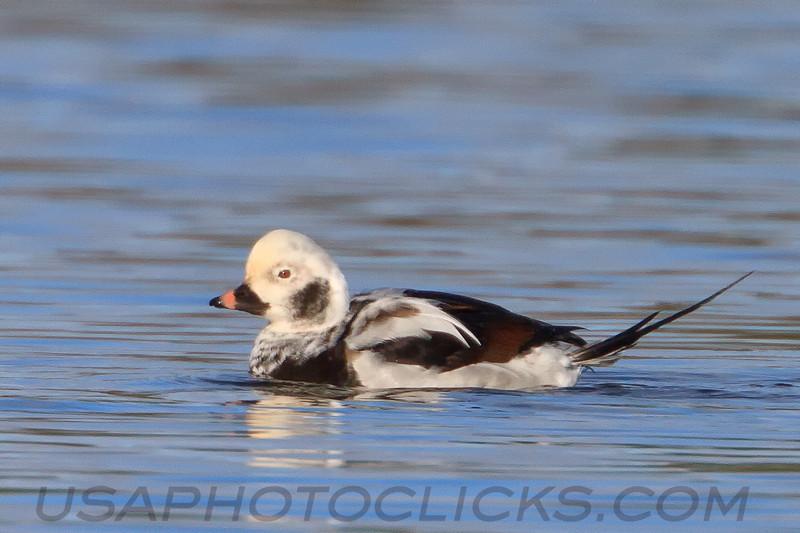 Long Tailed Duck (b0502)