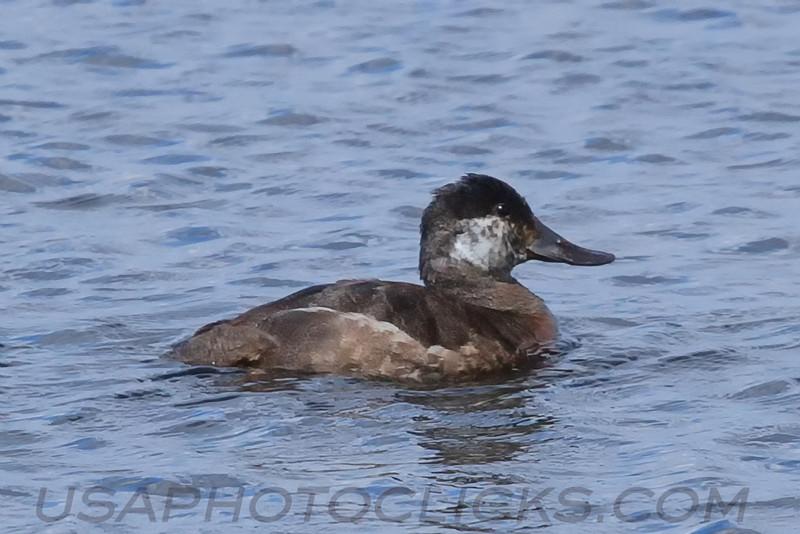 Ruddy Duck (b0483)