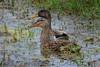 American Black Duck (b0351)