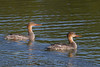 Red Brested Merganser (b1361)