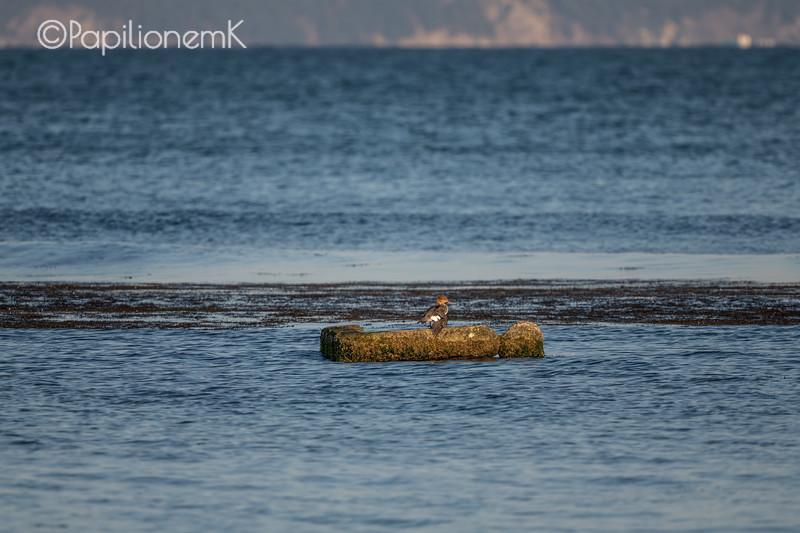 Red-breasted Merganser, 바다비오리, Mergus serrator