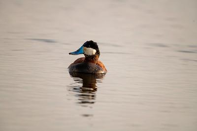 Ruddy Duck.