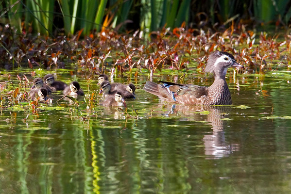 Ducklings and Goslings