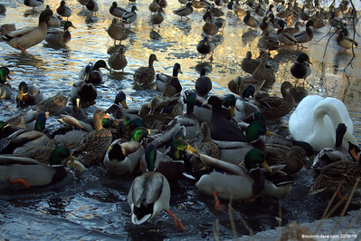 Ducks on Cannop Ponds 001