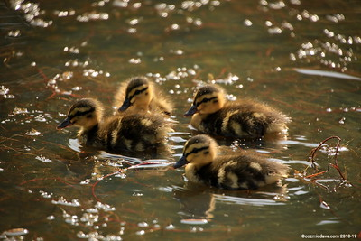 Moscovy Ducklings 004