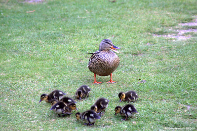 Moscovy Ducklings 003