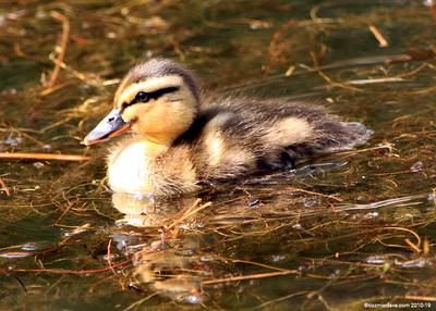 Moscovy Duckling 001