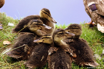 Moscovy Ducklings 001 (August 2010)