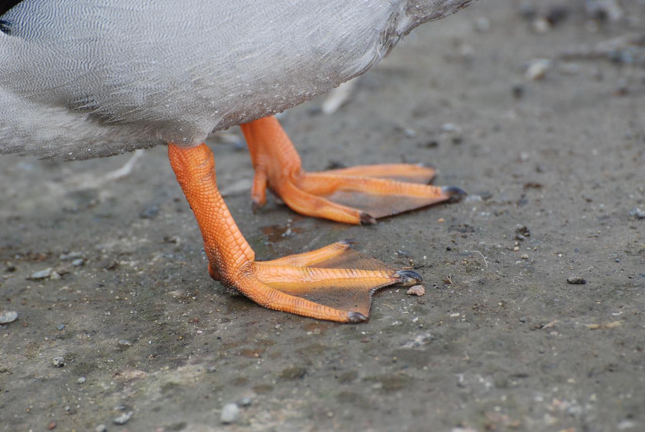 Mallard Duck tootsies