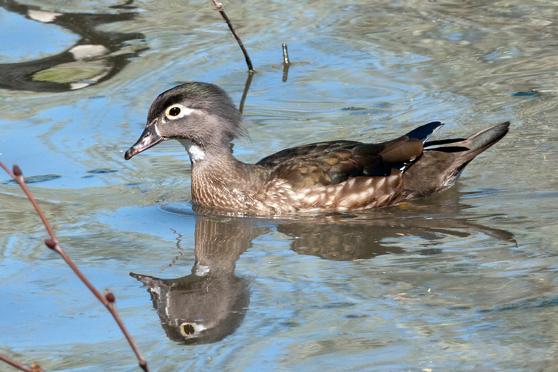 Wood Duck, (Hen) female