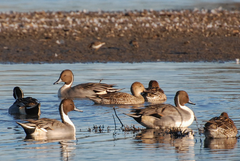 Northern Pintail ducks.