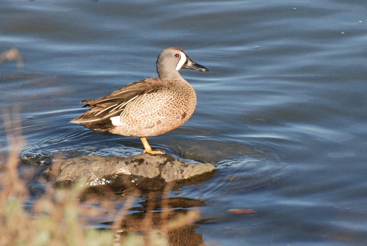Blue-wing Teal, Drake.