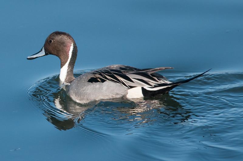 Northern Pintail, Drake