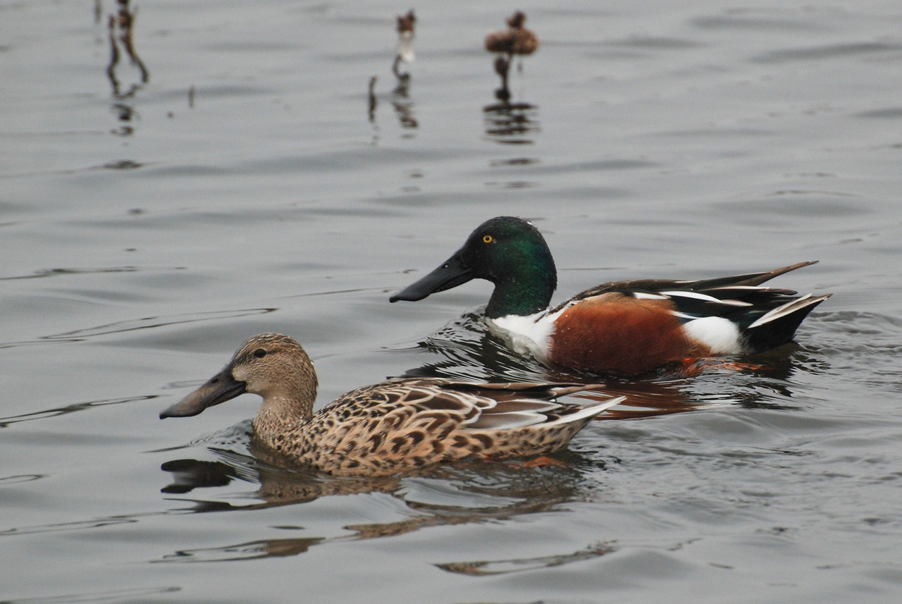 Northern Shoveler, a pair