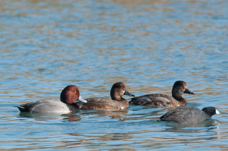 Redhead ducks (and a coot)